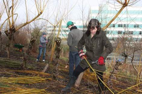 Volunteers at MOP garden  this past month assisting with bringing in the willow crops and learning about coppicing and  pollarding